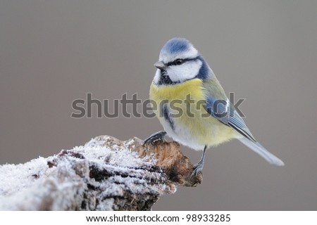 Blue Tit (Cyanistes caeruleus) on iced log - stock photo