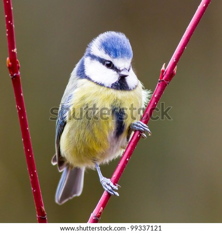 Blue Tit (Cyanistes caeruleus) Perched on a Twig - stock photo