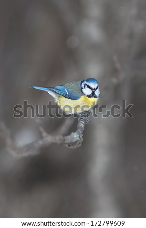 Blue tit (Cyanistes caeruleus) sitting on a branch during winter and light snowfall - stock photo