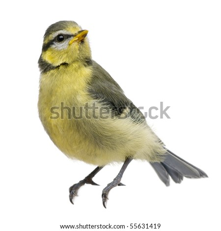 Blue Tit, 23 days old, perched against white background - stock photo