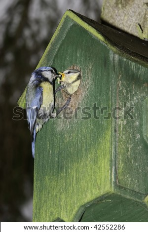 Blue tit feeding its young