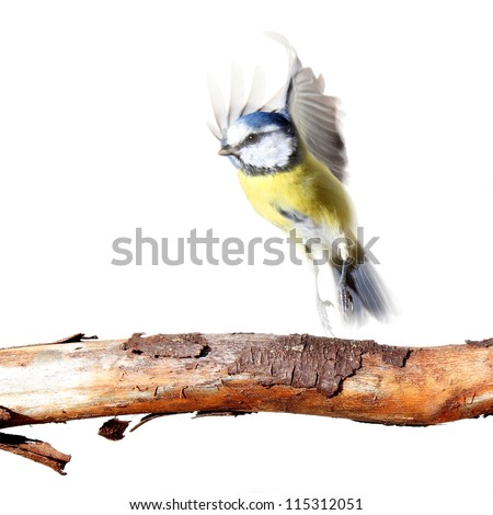 blue tit flying up from a branch, on white - stock photo