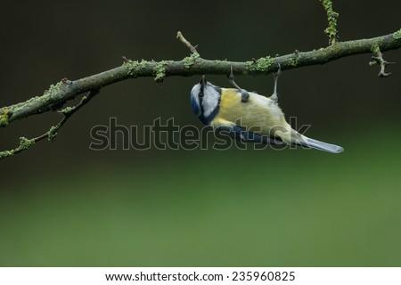 Blue tit hanging upside down - stock photo