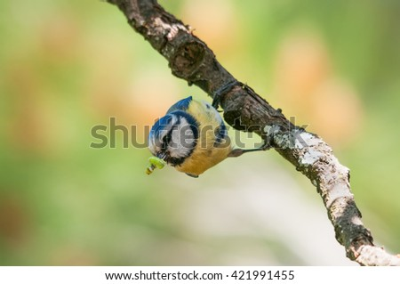 Blue tit holding a caterpillar in its beak hangs upside down from a branch - stock photo