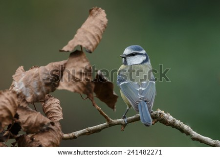 Blue tit in a autumn setting  - stock photo