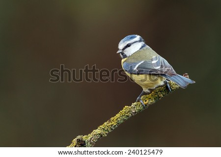 Blue tit in a green setting - stock photo