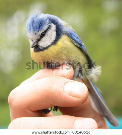 Blue tit in a hand of ornithologist - stock photo