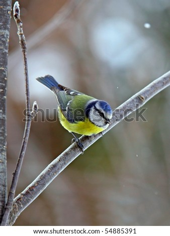 Blue tit in snowfall - stock photo