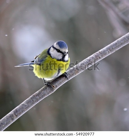 Blue tit in snowfall, in sunlight - stock photo