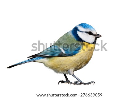 Blue tit isolated on white background
