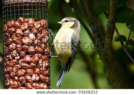 Blue Tit juvenile on feeder - stock photo