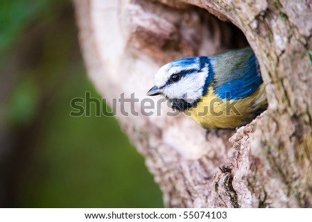 Blue tit (lat. Parus caeruleus) on the entrance of his nest - stock photo