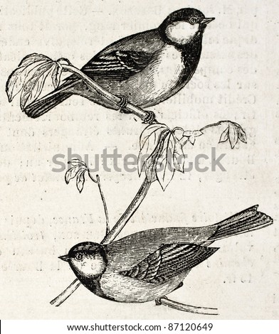 Blue Tit old illustration (Cyanistes caeruelus). By unidentified author, published on L'Illustration, Journal Universel, Paris, 1860 - stock photo