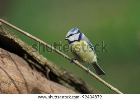 Blue tit on a branch. - stock photo