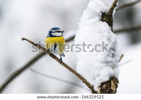 Blue Tit on a branch in winter forest - stock photo
