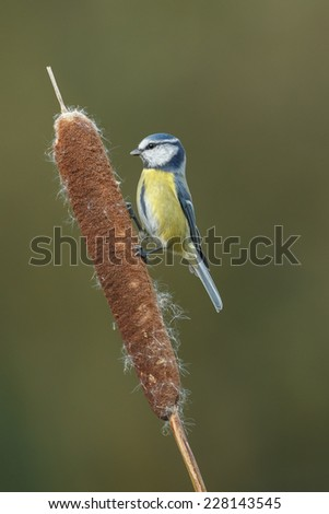 Blue tit on a Cattail (Typha) - stock photo