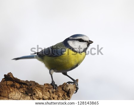 Blue tit on a log isolated - stock photo