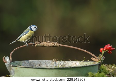 Blue tit on a old small bucket - stock photo