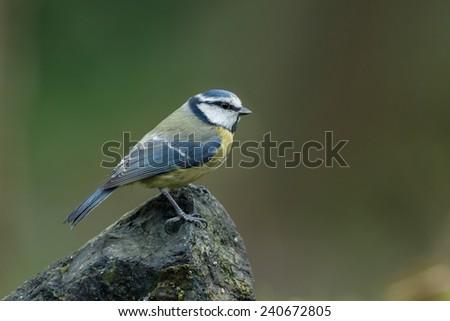 Blue tit on a rock - stock photo