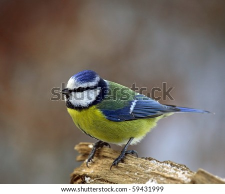 Blue tit on a snowy branch - stock photo
