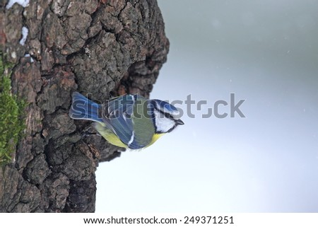 Blue tit on a snowy, mossy  trunk  - stock photo