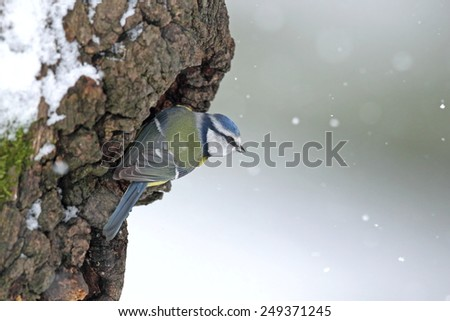 Blue tit on a snowy, mossy  trunk in snowfall - stock photo