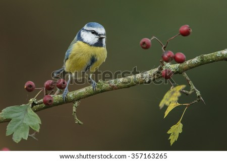 Blue tit on a twig - stock photo