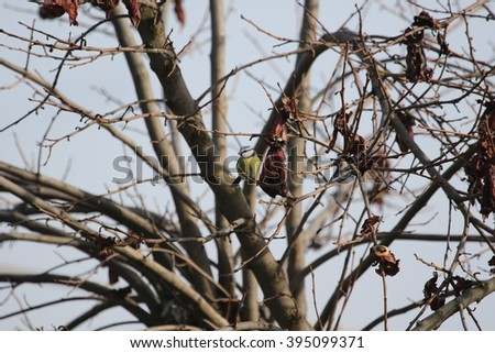 blue tit on persimmon tree with rotting fruit - stock photo