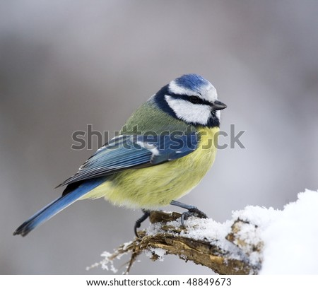 Blue tit on snowy branch - stock photo