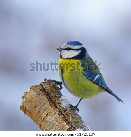 Blue tit on snowy branch 3. - stock photo