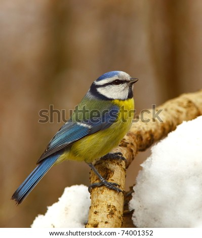 Blue tit on snowy branch 4. - stock photo