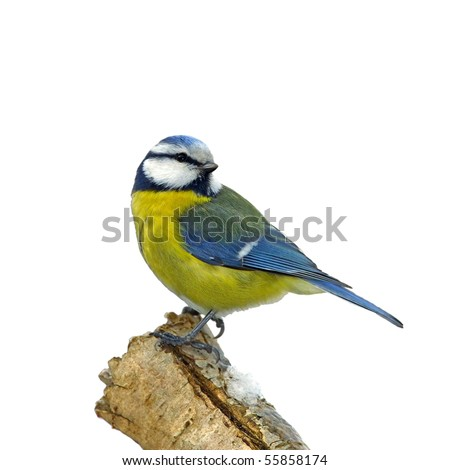Blue tit on snowy branch, isolated - stock photo