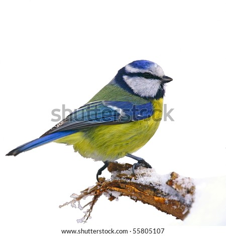 Blue tit on snowy trunk, isolated - stock photo