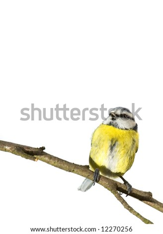 Blue tit on twig isolated over white - stock photo
