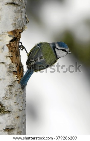 Blue tit,  Parus caeruleus - stock photo