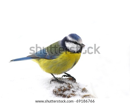 Blue tit (Parus caeruleus) face to face,  stand in snow, isolated - stock photo