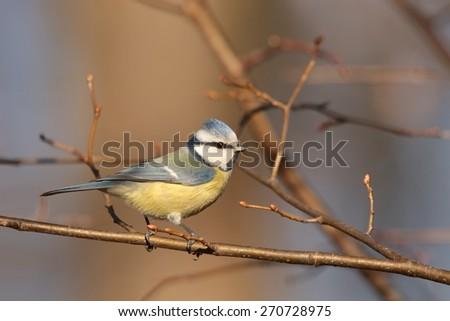 Blue tit (Parus caeruleus) on a twig. - stock photo