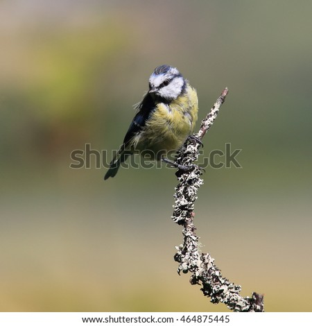Blue tit perched on a moss-like thin branch