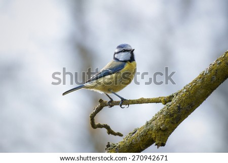 Blue Tit perched on a park branch in Spring - stock photo
