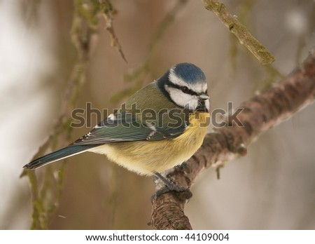 blue tit perched on snow-covered bough with snow falling around him - stock photo