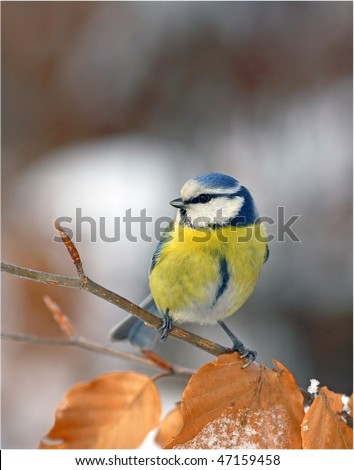 Blue tit - red leafs - snow - stock photo