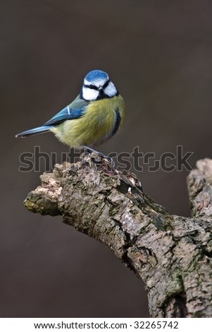 Blue Tit sitting on a branch - stock photo