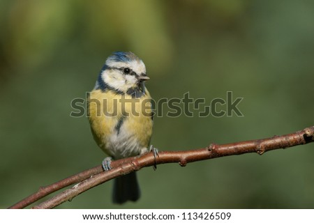 Blue tit sitting on a branch looking to the right