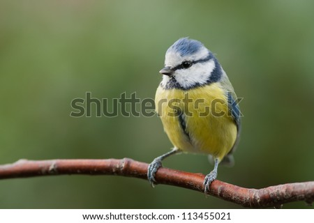 Blue tit sitting on a branch with green background