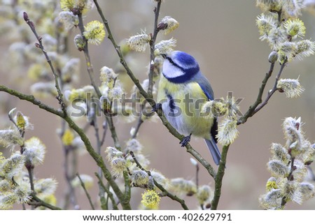 Blue tit when looking for food - stock photo