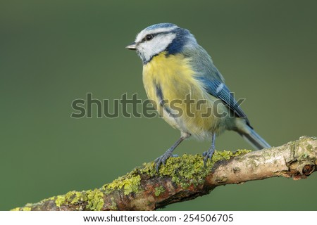 Blue tit with a soft background