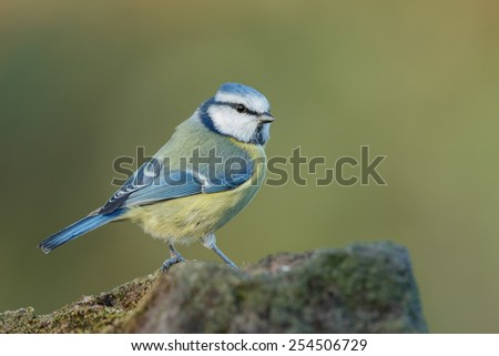 Blue tit with a soft background  - stock photo