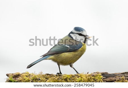 blue tit with food in bill isolated against white background