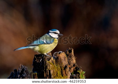 blue tit with the seed of sunflower - stock photo