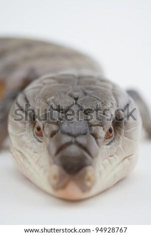 Blue Tongue Skink - stock photo
